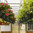 Hanging Baskets in Production