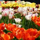 Tulip Field for Cut Flower Arrangements