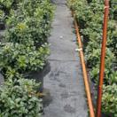 Nursery Crops in Field Containers